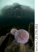 Купить «Two Common / Edible sea urchins (Echinus esculentus) on a rock with Klas Malmberg diving, house on the coast visible above surface, Saltstraumen, Bodö, Norway, October 2008», фото № 25376052, снято 20 ноября 2019 г. (c) Nature Picture Library / Фотобанк Лори