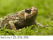Warty green burrowing frog (Scaphiophryne marmorata) Madagascar. Стоковое фото, фотограф Edwin Giesbers / Nature Picture Library / Фотобанк Лори