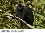 Купить «Bioko black colobus (Colobus satanas satanas) monkey in rainforest, Endangered Species, Bioko Island, Equatorial Guinea, January», фото № 25376708, снято 21 января 2020 г. (c) Nature Picture Library / Фотобанк Лори