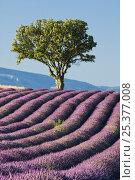 Купить «Lavender field, Plateau De Valensole, Provence, France, July 2008», фото № 25377008, снято 16 июля 2018 г. (c) Nature Picture Library / Фотобанк Лори