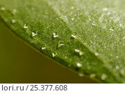 Купить «Salt crystals on the surface of a (Avecinnia sp) mangrove leaf. This mangrove species can secrete salt through special glands on the leaf surface. One...», фото № 25377608, снято 4 февраля 2020 г. (c) Nature Picture Library / Фотобанк Лори
