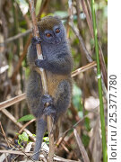 Купить «Eastern grey bamboo lemur (Hapalemur griseus)Lemur Island in Andasibe-Mantadia National Park,  eastern Madagascar, Semi-captive, IUCN Vulnerable species», фото № 25377780, снято 6 июля 2020 г. (c) Nature Picture Library / Фотобанк Лори