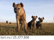 Купить «Spotted hyena (Crocuta crocuta) adolescent with two pups looking with curiosity, Masai Mara National Reserve, Kenya, December», фото № 25377808, снято 11 июля 2020 г. (c) Nature Picture Library / Фотобанк Лори