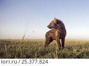 Купить «Young Spotted hyena (Crocuta crocuta) Masai Mara National Reserve, Kenya, Sep 2008,», фото № 25377824, снято 11 июля 2020 г. (c) Nature Picture Library / Фотобанк Лори