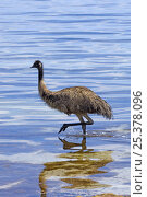 Купить «Emu (Dromaius novaehollandiae) juvenile wading through water on hot day, Coffin Bay National Park, South Australia, Spring», фото № 25378096, снято 26 мая 2018 г. (c) Nature Picture Library / Фотобанк Лори