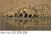 African lions (Panthera leo) killing Warthog (Phacochoerus aethiopicus) at waterhole after ambush, South Luangwa, Zambia (non-ex) Стоковое фото, фотограф Andy Rouse / Nature Picture Library / Фотобанк Лори