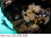Купить «Plumose sea anemone (Metridium senile) with Klas Malmberg in the background, Saltstraumen, Bodö, Norway, October 2008», фото № 25378328, снято 20 ноября 2019 г. (c) Nature Picture Library / Фотобанк Лори