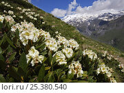 Купить «Caucasian rhododendron (Rhododendron caucasium) flowers with Mount Elbrus in the distance, Caucasus, Russia, June 2008», фото № 25380540, снято 24 сентября 2018 г. (c) Nature Picture Library / Фотобанк Лори