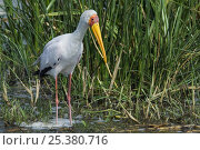 Купить «Yellow-billed stork (Mycteria ibis) standing in shallow water, Kazinga Channel, Queen Elizabeth National Park, Uganda», фото № 25380716, снято 27 июня 2019 г. (c) Nature Picture Library / Фотобанк Лори