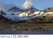 Купить «King penguin {Atenodytes patagonicus} adults entering and leaving the sea, St Andrews Bay, South Georgia», фото № 25380980, снято 24 сентября 2018 г. (c) Nature Picture Library / Фотобанк Лори
