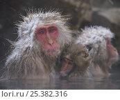 Купить «Japanese macaque (Macaca fuscata) holding young while bathing in hot spring to keep warm, only females and young bathe, winter, Jigokudani, Joshinetsu Kogen NP, Nagano, Japan», фото № 25382316, снято 27 апреля 2018 г. (c) Nature Picture Library / Фотобанк Лори