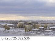 Купить «Polar bears (Ursus maritimus), some collared, along a barrier island on the Arctic coast, Alaska», фото № 25382536, снято 3 июля 2020 г. (c) Nature Picture Library / Фотобанк Лори