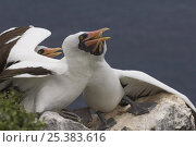 Купить «Nazca booby (Sula dactylatra granti) pair on rock, Wolf Island, Galapagos Islands», фото № 25383616, снято 22 апреля 2019 г. (c) Nature Picture Library / Фотобанк Лори