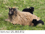 Heidschnucke sheep (Ovis aries) with two black lambs, Heligoland, Germany. Стоковое фото, фотограф Edwin Giesbers / Nature Picture Library / Фотобанк Лори