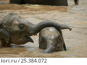Купить «Asian Elephant (Elaphus maximus) two playing in river, captive, Pinnawala Elephant Orphanage, Sri Lanka  (non-ex)», фото № 25384072, снято 16 июля 2018 г. (c) Nature Picture Library / Фотобанк Лори