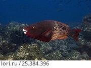 Купить «Bicolor parrotfish (Scarus rubroviolaceus) off Wolf Island, Galapagos Islands», фото № 25384396, снято 10 июля 2020 г. (c) Nature Picture Library / Фотобанк Лори