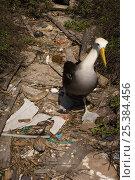 Купить «Waved albatross (Phoebastria irrorata) walking over rubbish on beach, Punta Cevallos, Española Island, Galapagos Islands», фото № 25384456, снято 20 марта 2019 г. (c) Nature Picture Library / Фотобанк Лори