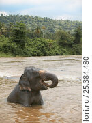 Купить «Asian elephant (Elaphus maximus) bathing in river, drinking, captive, Pinnawala Elephant Orphanage, Sri Lanka», фото № 25384480, снято 16 июля 2018 г. (c) Nature Picture Library / Фотобанк Лори