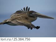 Купить «Brown pelican (Pelecanus occidentalis) subadult flying. Champion Islet off Floreana (Charles) Island, Galapagos Islands.», фото № 25384756, снято 26 июня 2019 г. (c) Nature Picture Library / Фотобанк Лори