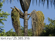 "Купить «Fruits of ""bacaba-de-leque"" palm tree (Oenocarpus distichus) Sierra of Lajeado, Tocantins State, Central Brazil.», фото № 25385316, снято 19 августа 2018 г. (c) Nature Picture Library / Фотобанк Лори"