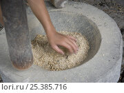 Купить «Rice (Oryza sp.) being milled the traditional way by hand, pounding rice grains with mortar and pestle, Philippines.», фото № 25385716, снято 16 декабря 2017 г. (c) Nature Picture Library / Фотобанк Лори