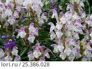 Купить «Skullcap {Scutellarai alpina} flowers, Alps, France», фото № 25386028, снято 22 мая 2018 г. (c) Nature Picture Library / Фотобанк Лори