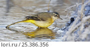 Купить «Grey wagtail (Motacilla cinerea) drinking from pond in winter, Vantaa, Finland», фото № 25386356, снято 24 января 2019 г. (c) Nature Picture Library / Фотобанк Лори