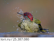 Green Woodpecker (Picus viridis sharpei) male bathing, Spain, December. Magic Moments book plate. Стоковое фото, фотограф Markus Varesvuo / Nature Picture Library / Фотобанк Лори