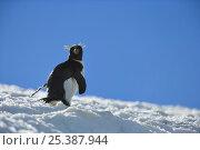 Macaroni penguin (Eudyptes chrysolophus) walking up glacier, South Georgia. Стоковое фото, фотограф Andy Rouse / Nature Picture Library / Фотобанк Лори