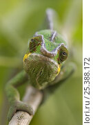 Купить «Panther chameleon (Furcifer pardalis) walking along branch, Madagascar», фото № 25388172, снято 17 июля 2019 г. (c) Nature Picture Library / Фотобанк Лори