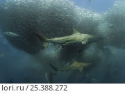 Купить «Copper sharks / Bronze whaler (Carcharhinus brachyurus)  and Little eastern tuna {Euthynnus affinis} feeding on a baitball of Sardines / Pilchards (Sardinops...», фото № 25388272, снято 16 июля 2018 г. (c) Nature Picture Library / Фотобанк Лори