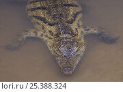 Купить «Nile crocodile (Crocodylus niloticus) partically submerged with eyes just above water, Madagascar, captive», фото № 25388324, снято 15 октября 2019 г. (c) Nature Picture Library / Фотобанк Лори