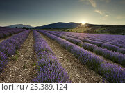 Купить «Sunrise in a lavender field nr Sault, the Vaucluse, Provence, France», фото № 25389124, снято 16 июля 2018 г. (c) Nature Picture Library / Фотобанк Лори