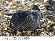 Купить «Variegated scallop (Chlamys varia / Mimachlamys varia) shell on beach, Normandy, France», фото № 25389696, снято 16 августа 2018 г. (c) Nature Picture Library / Фотобанк Лори