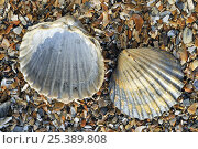 Купить «Poorly ribbed cockle (Acanthocardia paucicostata) shells separed to show the inside and the outside, Normandy, France», фото № 25389808, снято 12 декабря 2017 г. (c) Nature Picture Library / Фотобанк Лори