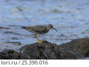 Купить «Wandering Tattler (Tringa incana) on rock, Punta Cevallos, Española / Hood Island, Galapagos Islands, Ecuador, South America», фото № 25390016, снято 19 октября 2019 г. (c) Nature Picture Library / Фотобанк Лори