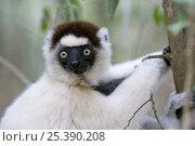 Купить «Verreaux's sifaka {Propithecus verreauxi} Berenty Private Reserve, southern Madagascar, IUCN vulnerable species», фото № 25390208, снято 22 апреля 2019 г. (c) Nature Picture Library / Фотобанк Лори
