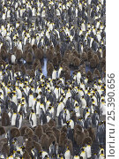 Купить «King Penguin (Aptenodytes patagonicus) adults and brown chicks within colony, Saint Andrews Bay, South Georgia», фото № 25390656, снято 24 сентября 2018 г. (c) Nature Picture Library / Фотобанк Лори