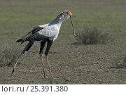 Secretary Bird (Sagittarius serpentarius) with snake prey in its beak, Tanzania. Стоковое фото, фотограф Edwin Giesbers / Nature Picture Library / Фотобанк Лори