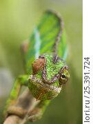 Купить «Panther chameleon (Furcifer pardalis) with eyes facing different direction, Madagascar», фото № 25391724, снято 17 июля 2019 г. (c) Nature Picture Library / Фотобанк Лори