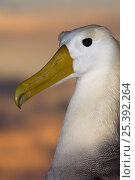 Купить «Waved Albatross (Phoebastria irrorata) portrait, Punta Cevallos, Española Island, Galapagos Islands. Endemic, Critially endangered», фото № 25392264, снято 20 марта 2019 г. (c) Nature Picture Library / Фотобанк Лори