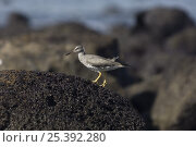 Купить «Wandering Tattler (Tringa incana) on rock, Punta Cevallos, Española / Hood Island, Galapagos Islands», фото № 25392280, снято 20 марта 2019 г. (c) Nature Picture Library / Фотобанк Лори