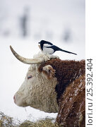 Купить «European Magpie (Pica pica) perched on cow's head, Helsinki, Finland, March», фото № 25392404, снято 21 июня 2019 г. (c) Nature Picture Library / Фотобанк Лори