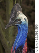 Купить «Female Southern Cassowary (Casuarius casuarius), occurs North East Queensland, Australia. Vulnerable Species, February 2OO8, Captive.», фото № 25392596, снято 16 октября 2019 г. (c) Nature Picture Library / Фотобанк Лори