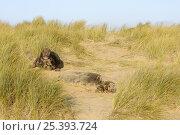 Купить «Grey seal (Halichoerus grypus) male and female amongst sand dunes, Blakeney Point, Norfolk, UK, December 2008», фото № 25393724, снято 22 марта 2019 г. (c) Nature Picture Library / Фотобанк Лори