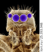 False coloured scanning electron micrograph of head of Jumping spider {Salticidae} UK. Стоковое фото, фотограф Alex Hyde / Nature Picture Library / Фотобанк Лори