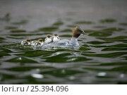 Купить «Goosander (Mergus merganser) female carrying its chicks on its back, Nymphenburger Schlosspark, Munich, Bavaria, Germany», фото № 25394096, снято 27 мая 2020 г. (c) Nature Picture Library / Фотобанк Лори