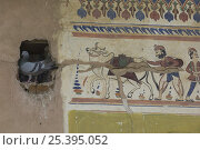 Купить «Pigeon perched beside traditional paintings on wall of Havelis (merchant's house) Nawalghar, Rajasthan, India.», фото № 25395052, снято 22 февраля 2019 г. (c) Nature Picture Library / Фотобанк Лори