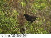 Купить «Medium ground finch (Geospiza fortis) adult male, perched on a branch. Santa Cruz Island, Galapagos Islands.», фото № 25396564, снято 26 июня 2019 г. (c) Nature Picture Library / Фотобанк Лори