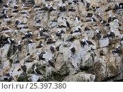 Купить «Peruvian bobby (Sula variegata) nesting colony, Isla Ballestas, Ballestas Islands, Peru.», фото № 25397380, снято 21 июля 2018 г. (c) Nature Picture Library / Фотобанк Лори